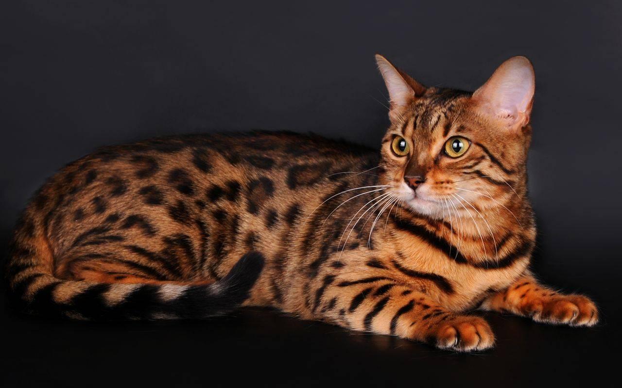 Тойгер 🐈 фото кошки, история и описание породы, характер, уход