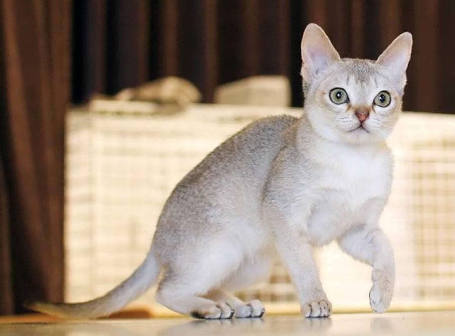 Сингапура кошка маленького роста