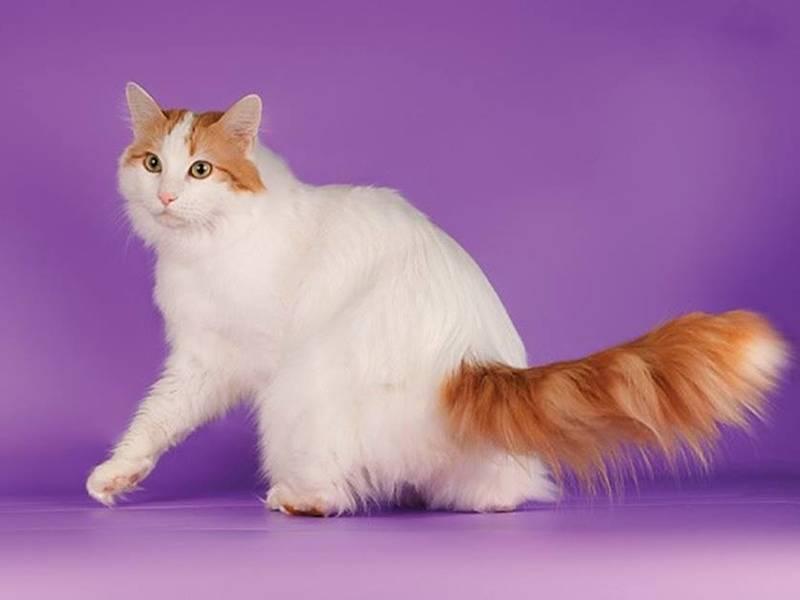 Коты породы турецкий ван