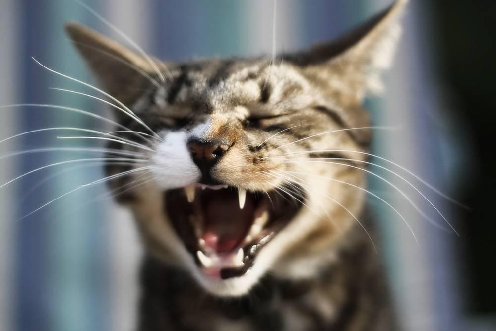 Кошачьи зубки требуют внимания и ухода