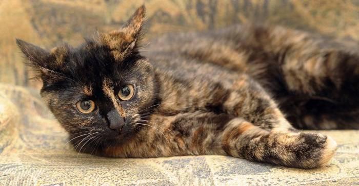 Черепаховый окрас кошки: причудливая игра природы