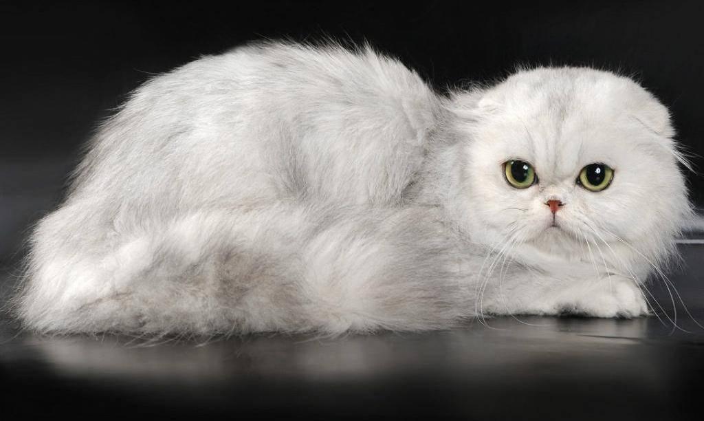 шотландские вислоухие длинношерстные котята фото функцией