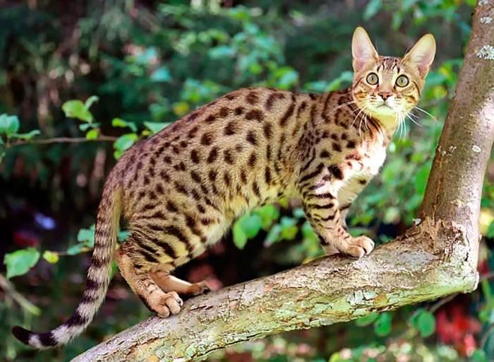 Кошка сервал: описание внешнего вида и характера, размножение, образ жизни и фото африканского кота, содержание в домашних условиях