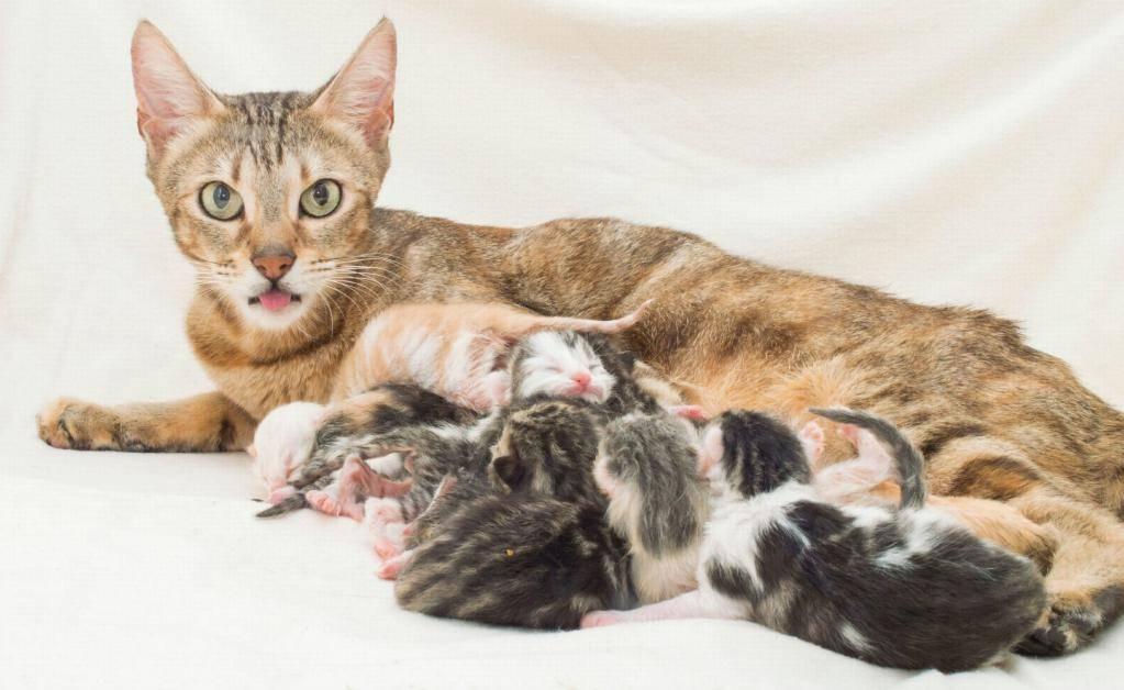 Сколько обычно котят у кошки