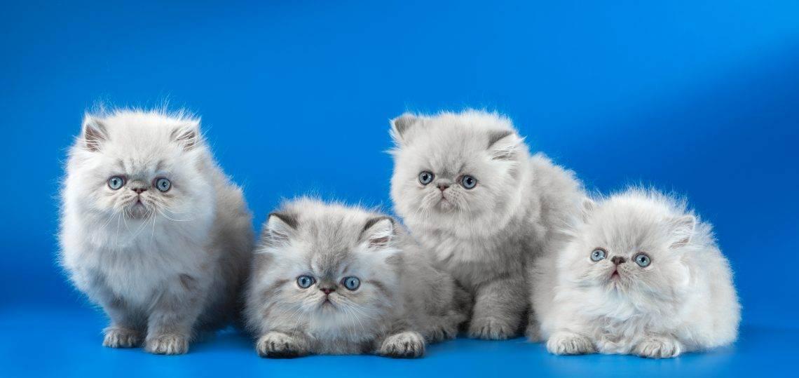 Персидская кошка - описание породы, фото, уход, питание, цена, характер, содержание