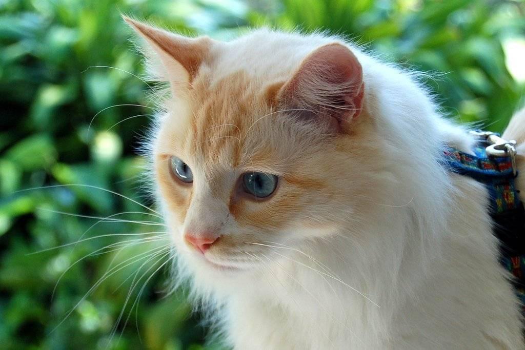 Турецкий ван и турецкая ангора – в чем отличие?Характеристика и описание породы турецкий ванн (Ванская кошка) Видео