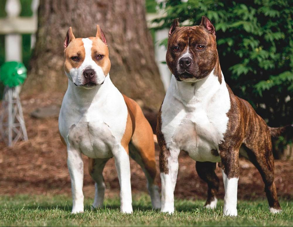 Американский булли – фото собаки, описание породы, цена щенков