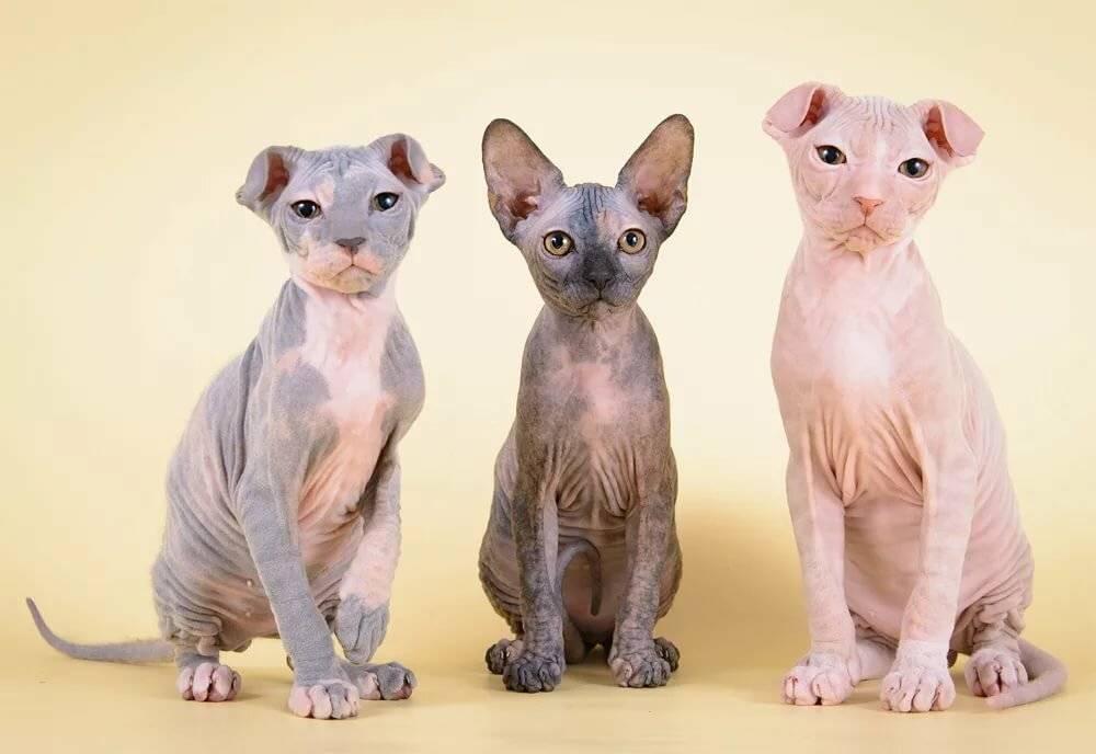 Украинский левкой кошки и коты