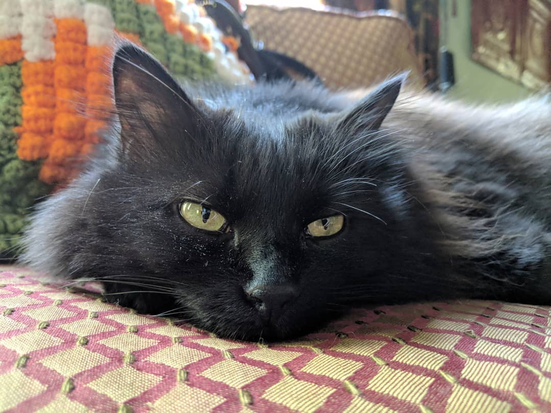 Шантильи-Тиффани кошки и коты
