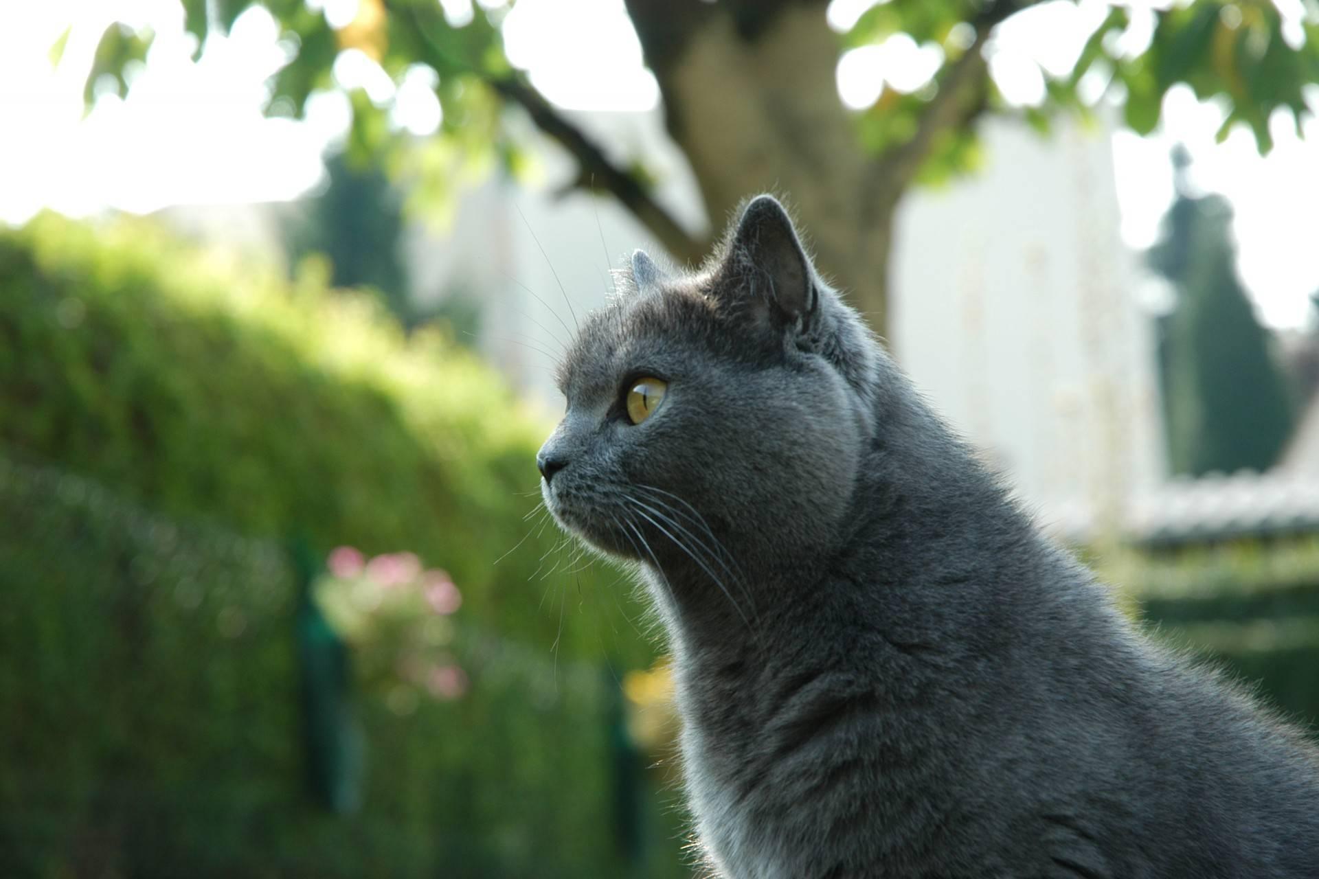 Кот породы шартрез характер