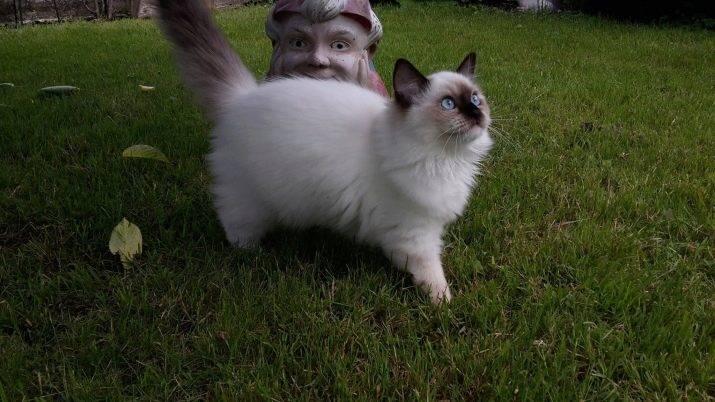 Все о кошках породы рэгдолл: особенности внешнего вида и темперамента