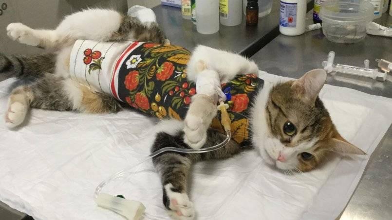 Как подготовить кошку к стерилизации правильно: обработка от глистов, кормление и прививки