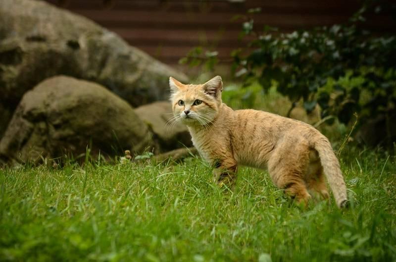 Подробный обзор бархатного кота: описание внешнего вида пустынной кошки