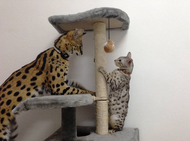 Как развиваются котята оцелота? - Наши лапки