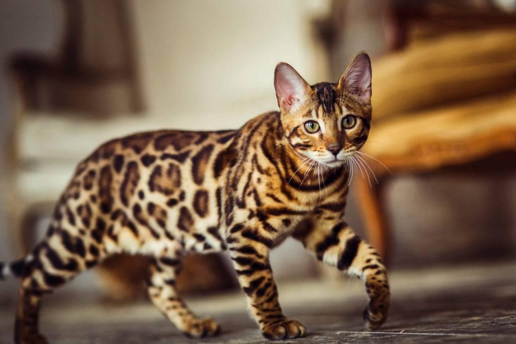 Тойгер: порода кошек тигрового окраса