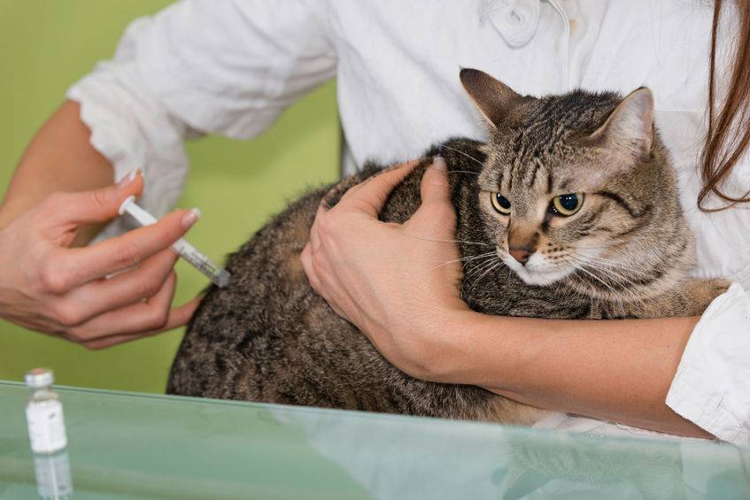 Как давать Ацилок кошке