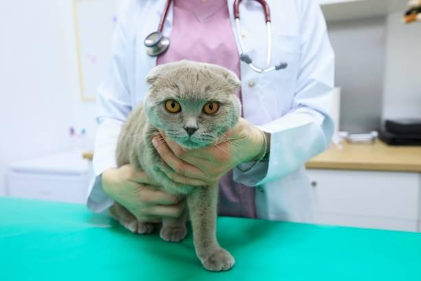 Описание внешности и темперамента шотландской породы кошек