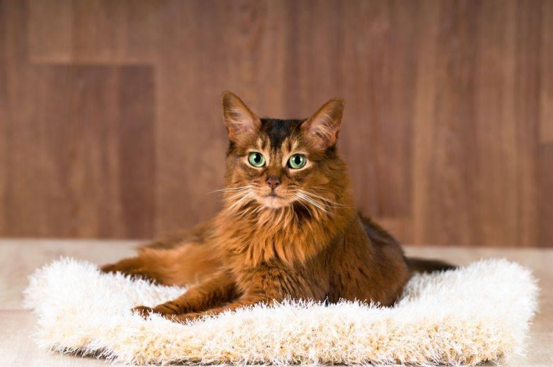 Описание красивейшей породы сомалийской кошки и ее характеристики
