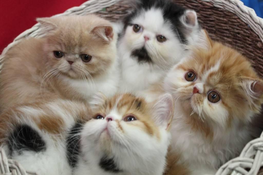 Экзотка кошка