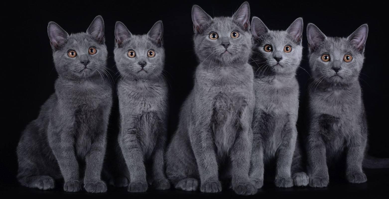 Шартрез (Картезианская кошка): описание и характер, фото