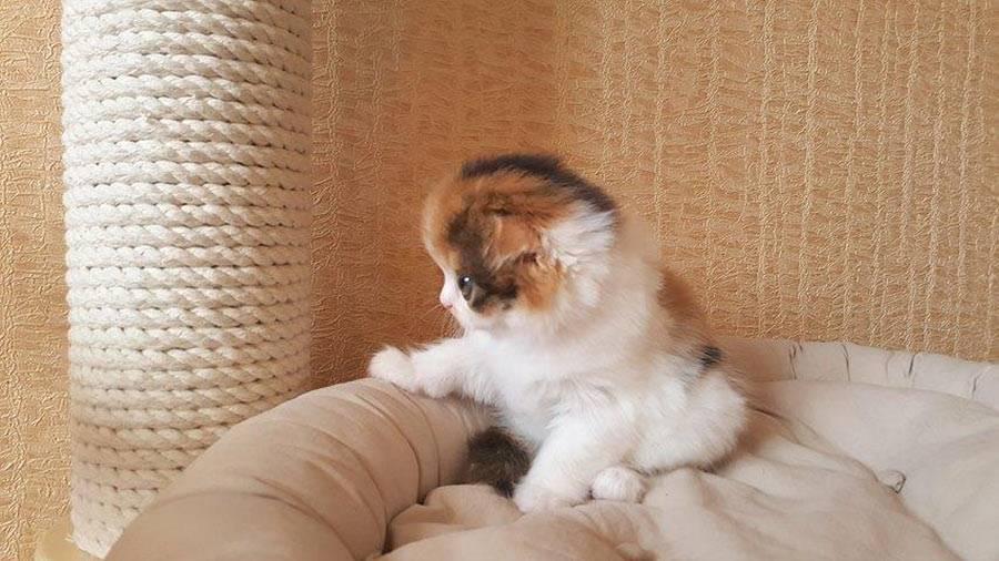 Шотландский вислоухий котнок скоттиш-фолд характеристика породы содержание и уход