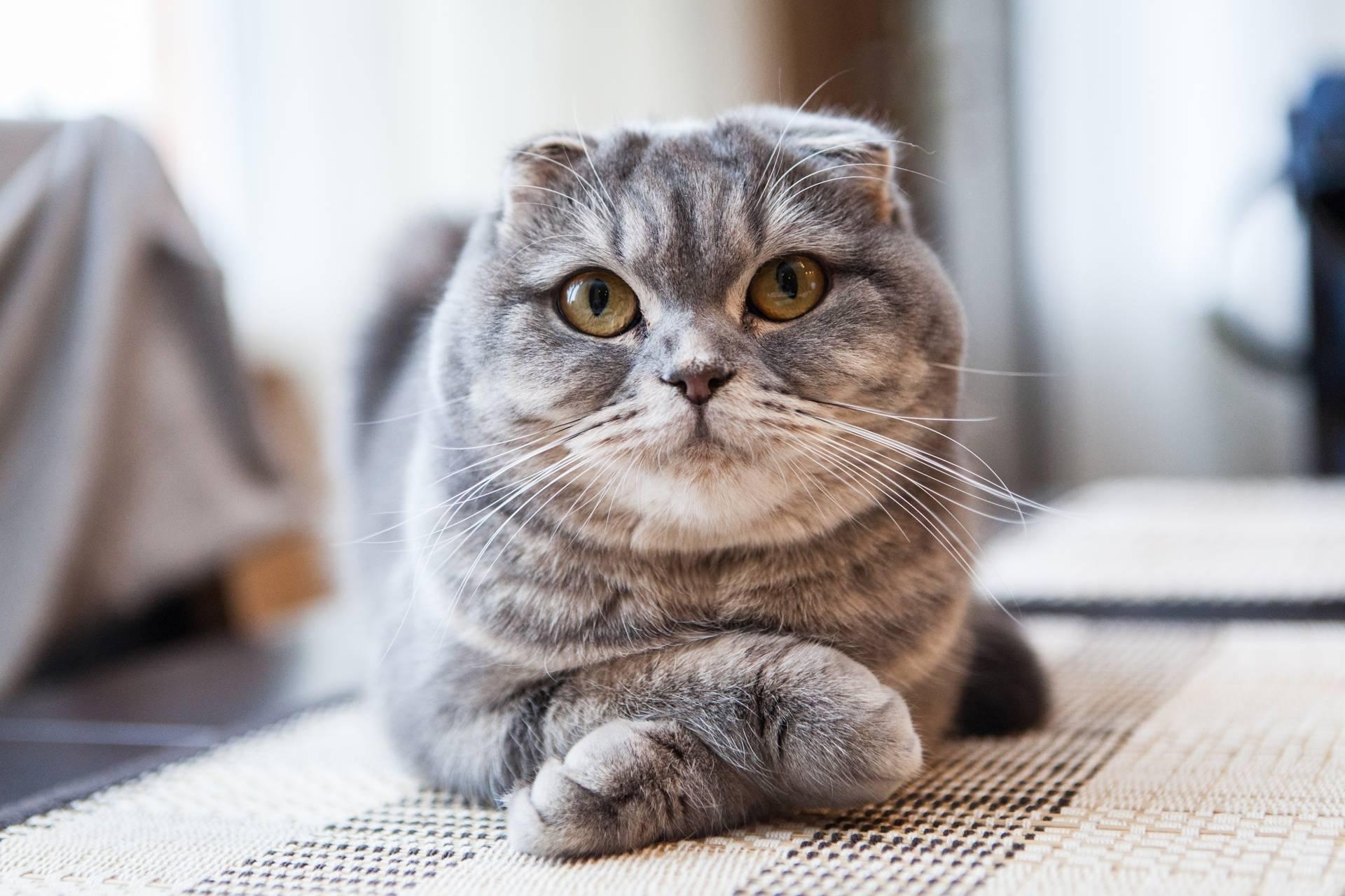 Сколько Живут Коты Шотландские Вислоухие