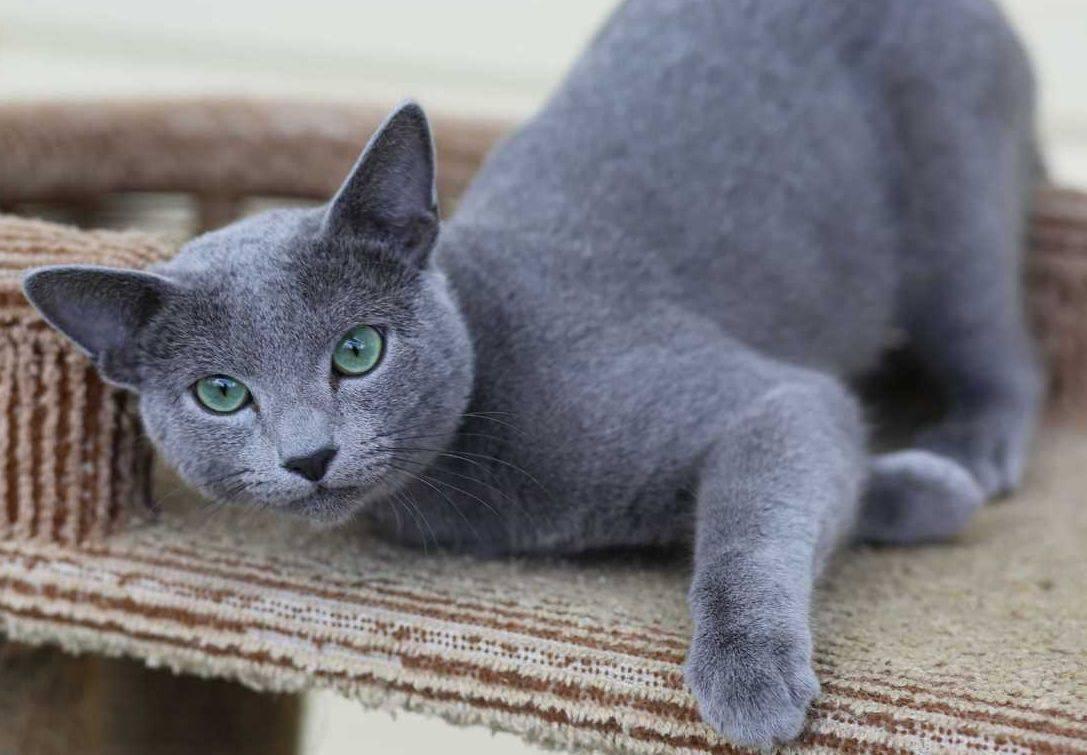 Все о русской голубой кошке: особенности внешнего вида и характера