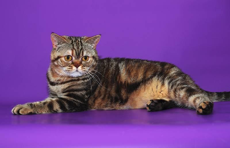 Стандартные окрасы и цвета британских короткошерстных кошек