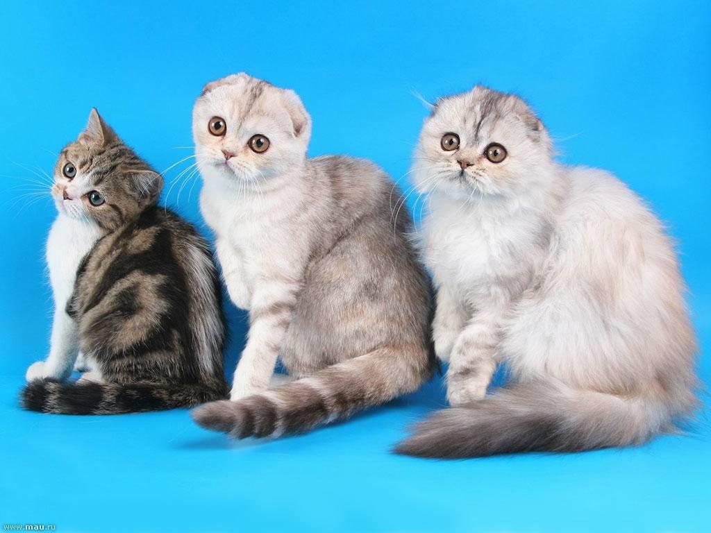 разновидность все о шотландских котятах в картинках енисей