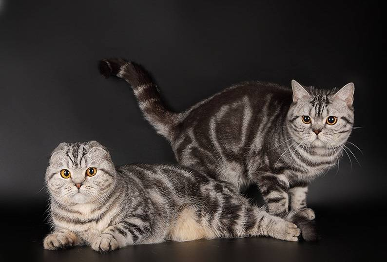 Шотландский вислоухий кот питание и уход
