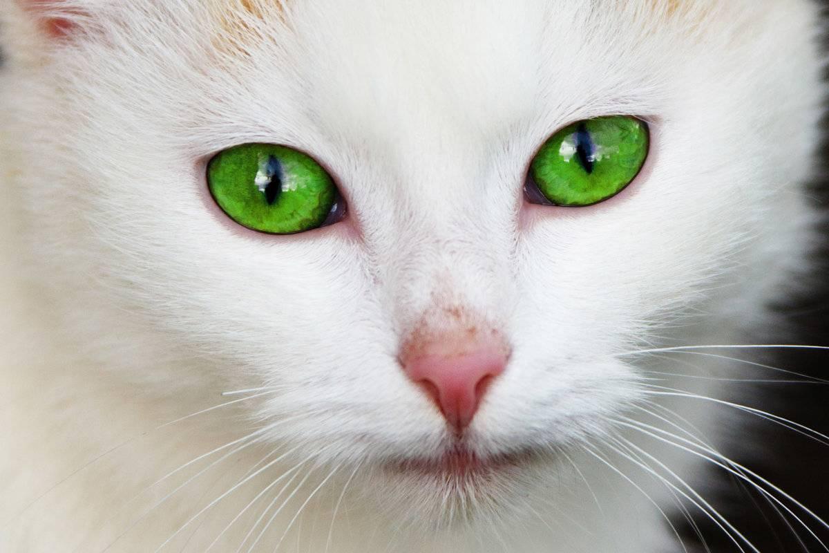 Глазные капли для кошек от воспаления и конъюнктивита