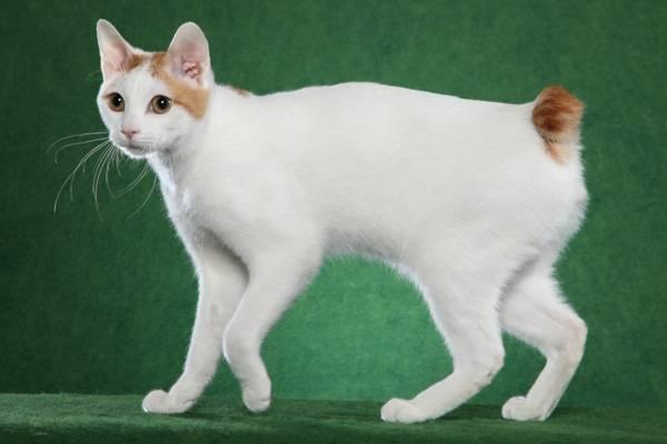 Японская порода кошек японский бобтейл