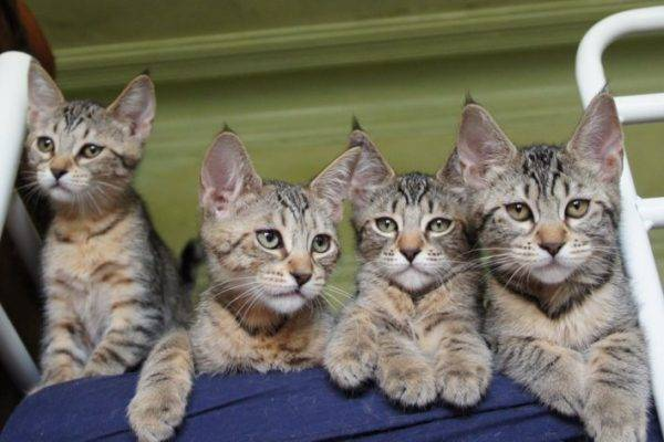 Топ-10 самых больших кошек в мире: описание и фото