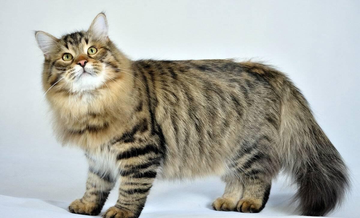 Сибирские коты описание породы характер и уход