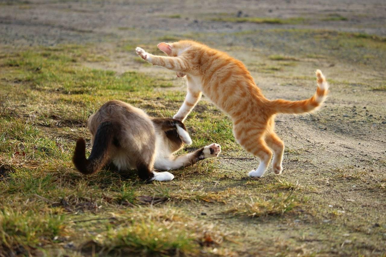 Власоеды у кошек: как обнаружить, лечение, фото