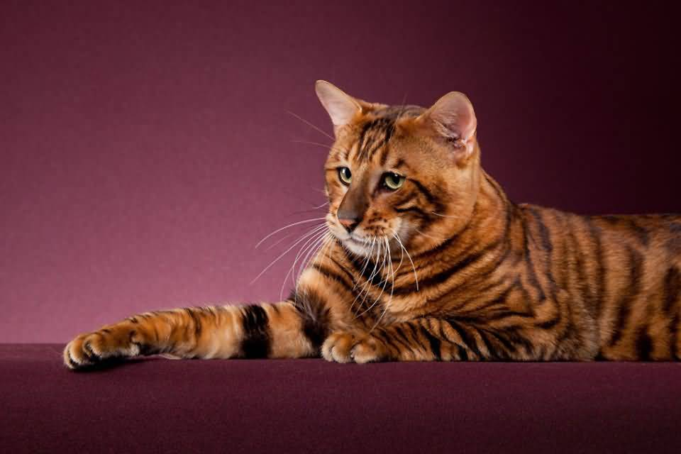 Тойгер (Тайгер): описание и характер породы, основы ухода, фото