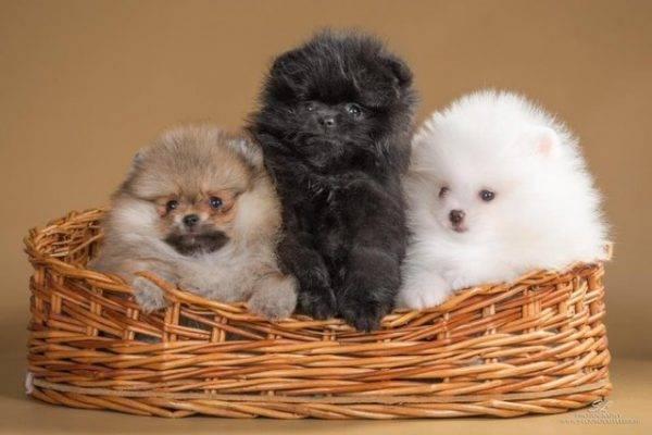 Белые померанские шпицы (24 фото): описание карликовых щенков белого цвета. Характер взрослых и маленьких собак белого окраса