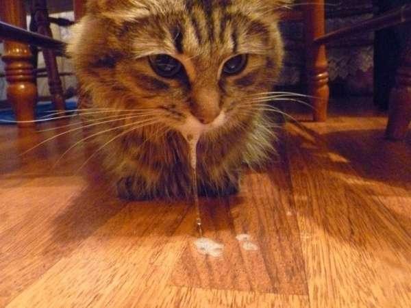 Что дать коту при рвоте белой пеной