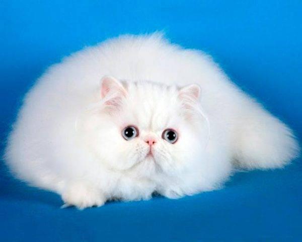 Персидская кошка с голубыми глазами