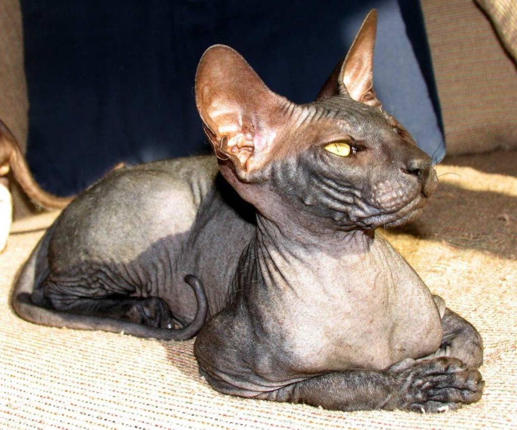Гипоаллергенные кошки и коты (58 фото): породы, на которые нет аллергии. Особенности безаллергенных кошек. Какую лучше завести астматикам?