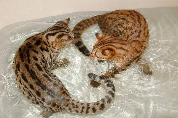 Почему кошки и коты не любят воду