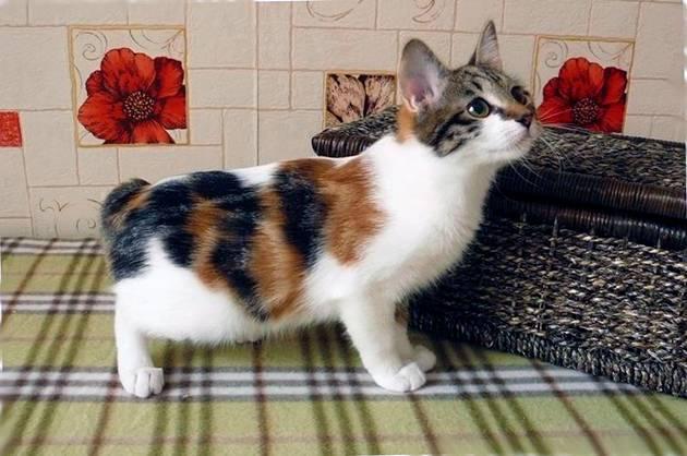 Кошка японский бобтейл (33 фото): описание котов породы японский бобтейл, особенности характера и содержания