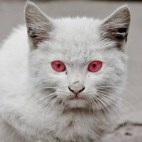 Белая кошка с голубыми глазами: породы голубоглазых питомцев