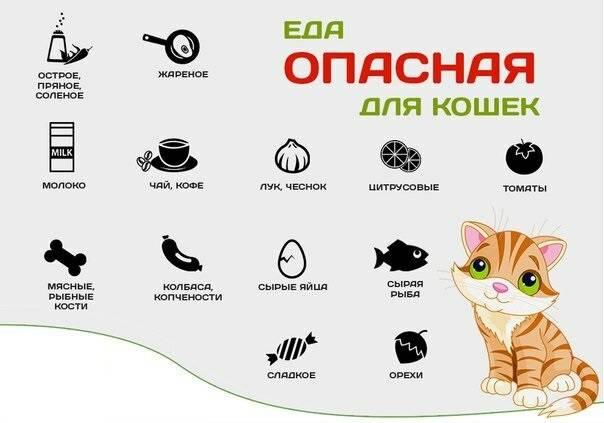Скоттиш страйт шотландская прямоухая кошка: характеристика породы, уход за скотиш страйтом, питание и болезни