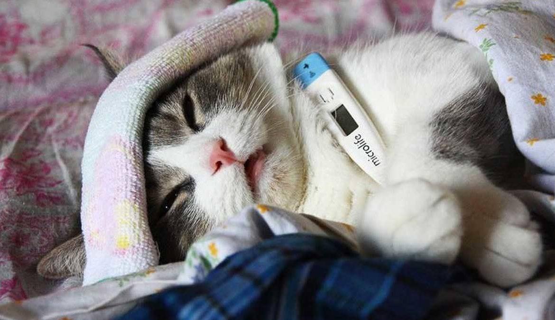 Симптомы лямблиоза у кошек Схема лечения при лямблиозе у кошек