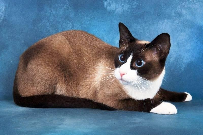Коты сноу шу: характер, описание породы, цена, фото, видео