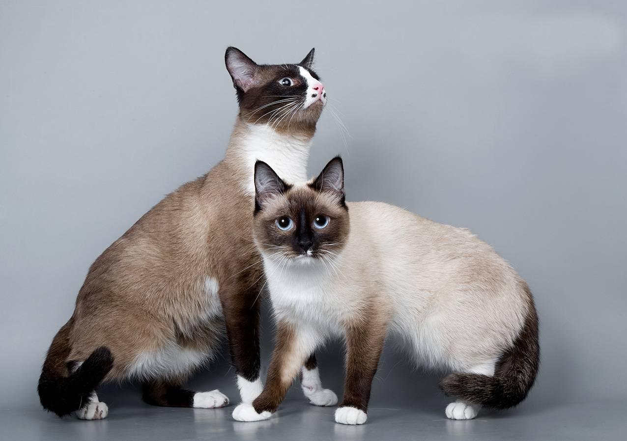 Особенности породы кошек сноу шу: почему их окрас считается сложным?