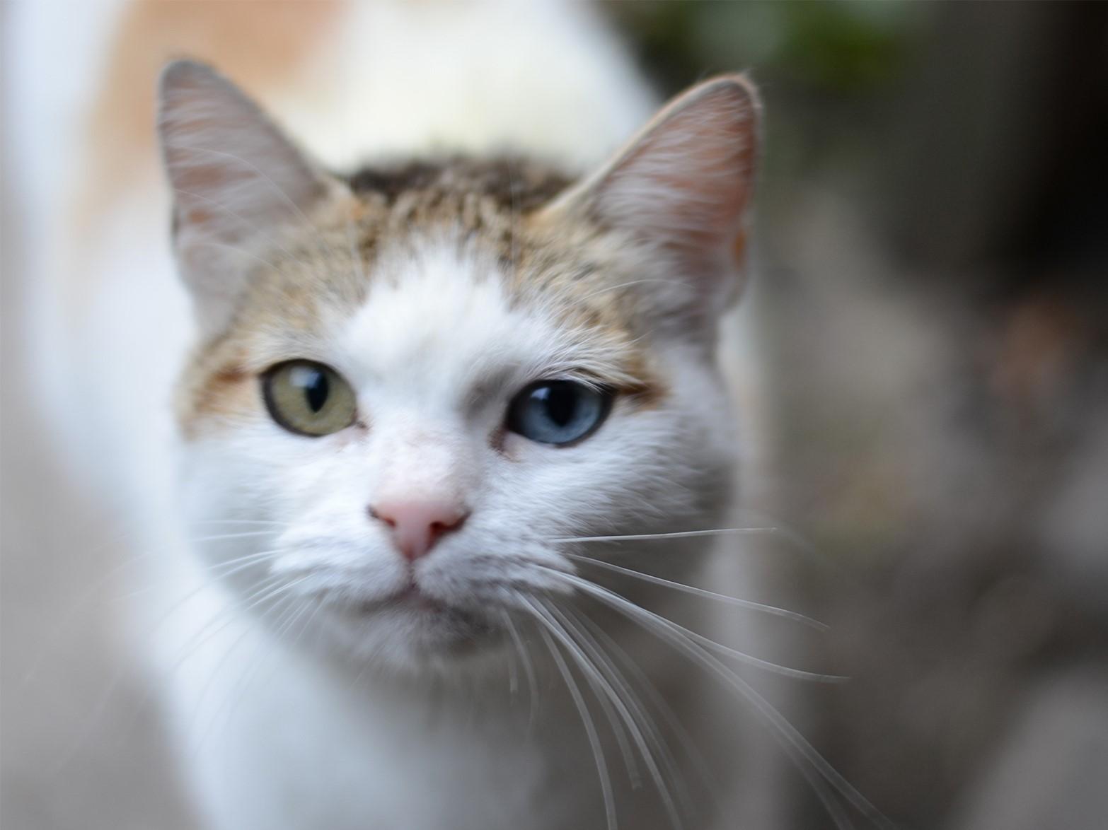 Кошки с разными глазами по цвету: фото и породы