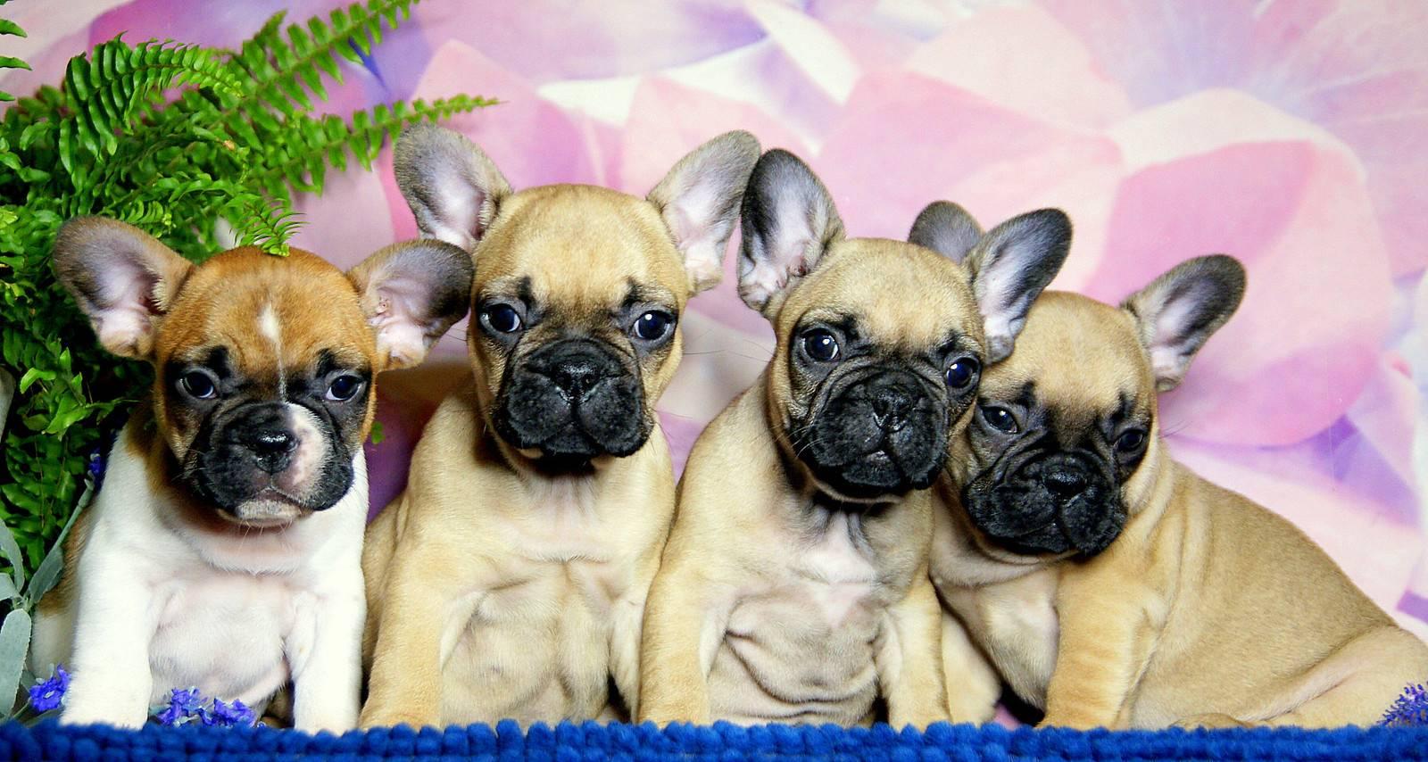 Дрессировка французского бульдога: порода собаки фото, как воспитывать щенка в домашних условиях, злой