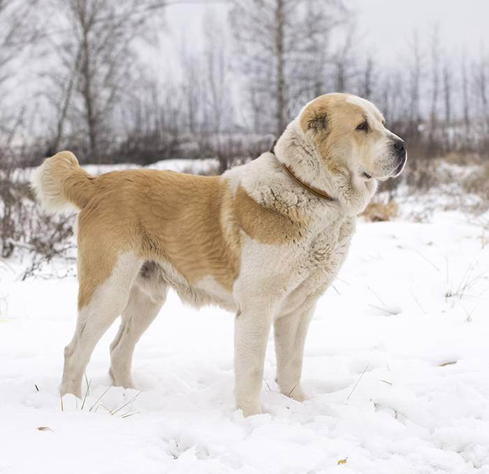 алабай белый фото взрослых собак ведь сказать, что